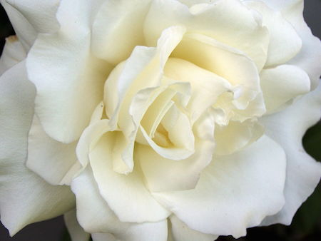 short-stories-white-rose